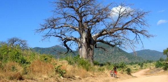 Baobab Tree, Malawi